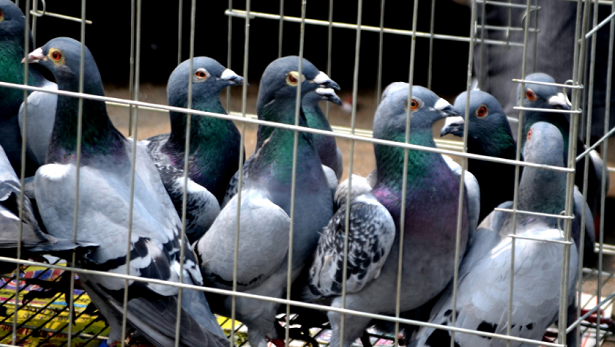 piccioni viaggiatori in gabbia