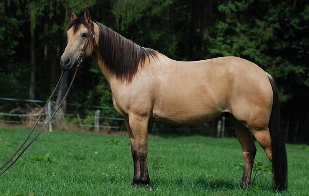 Quarter Horse nel prato