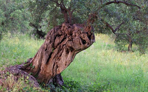 Fleotribo olivo