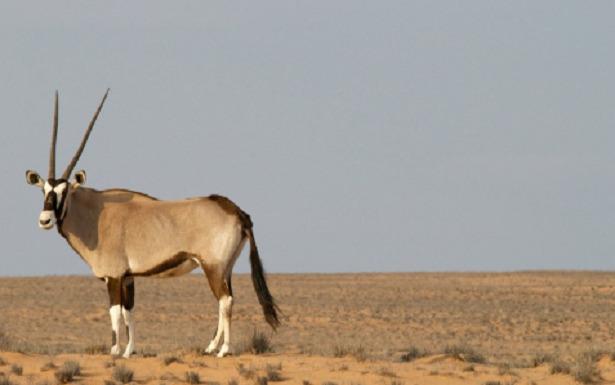 animali del deserto antilope