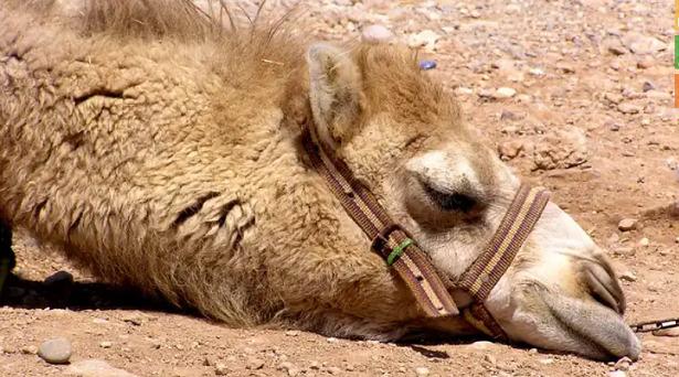 animali del deserto cammello