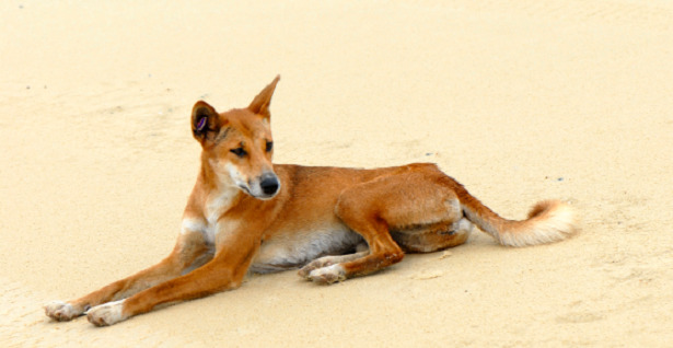 animali del deserto dingo