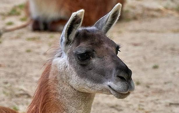 animali del deserto guanaco