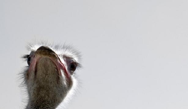 animali del deserto struzzo