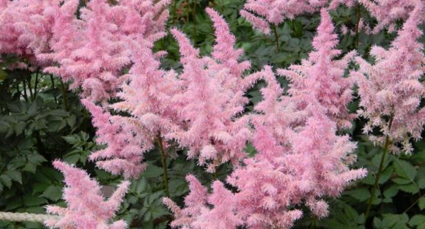 Astilbe fiori rosa