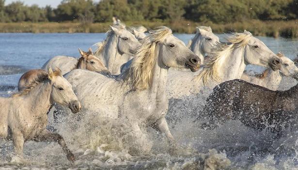 cavalli camargue in acqua