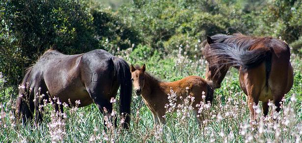 Cavallini della Giara fiori