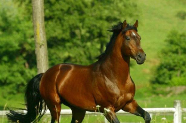 Cavallo Anglo-arabo sardo corre