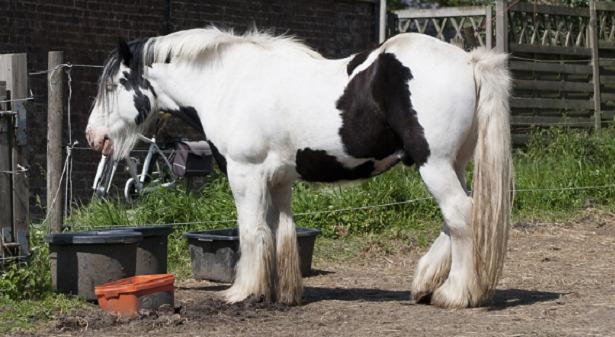 Cavallo Belga da tiro