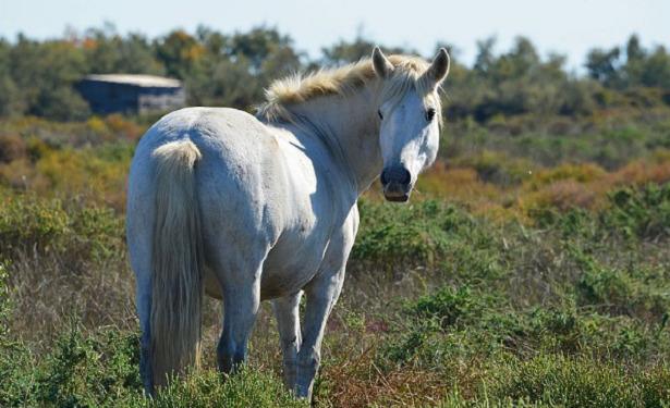 cavallo camargue