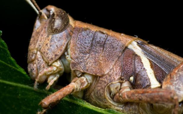 corpo di locusta gigante