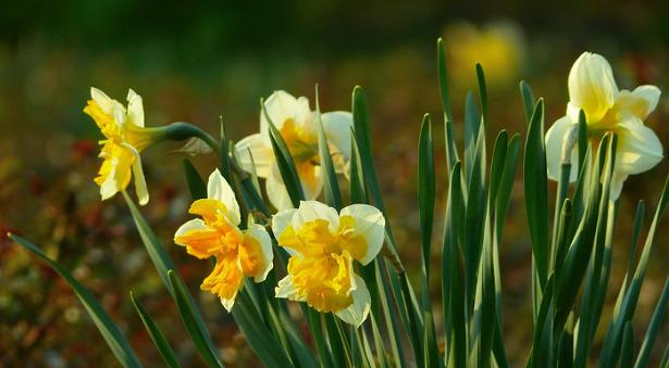 fiore di narciso bianco