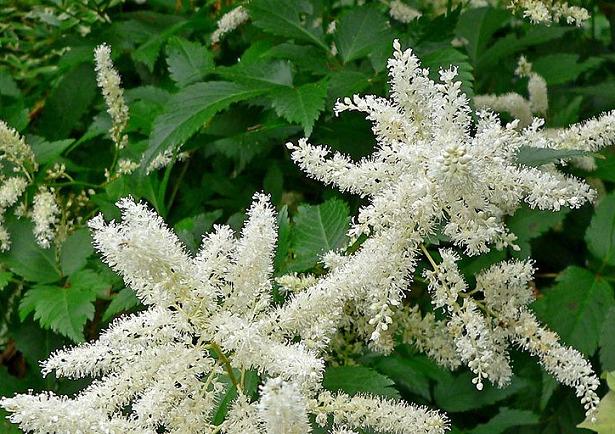 Astilbe fiori bianchi