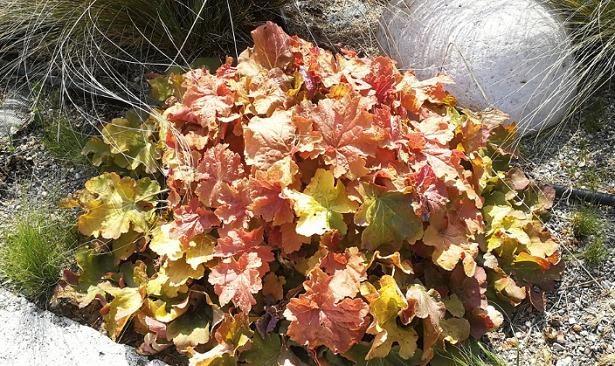 Heuchera foglie