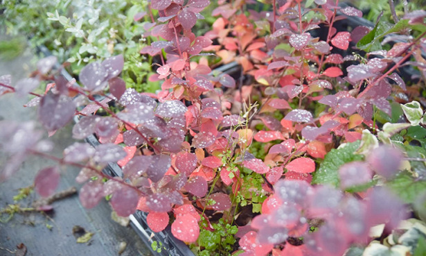 Berberis amazon