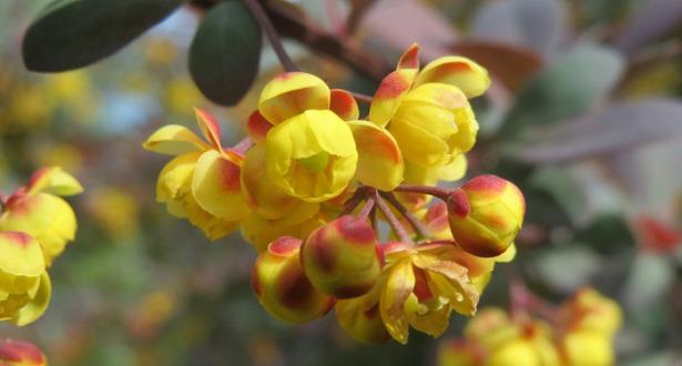 Berberis fiore
