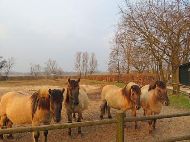 cavalli konik