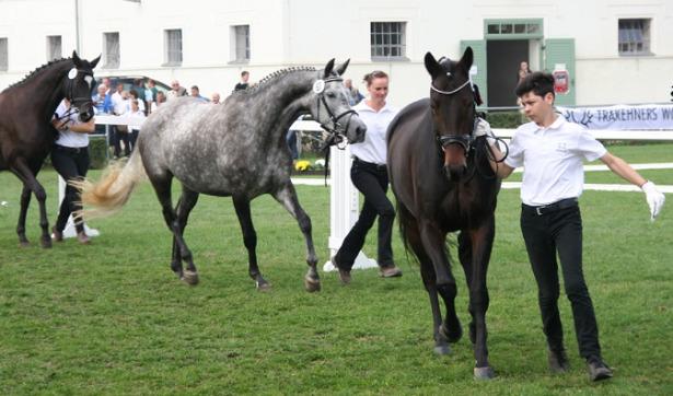 cavalli trakehner gare