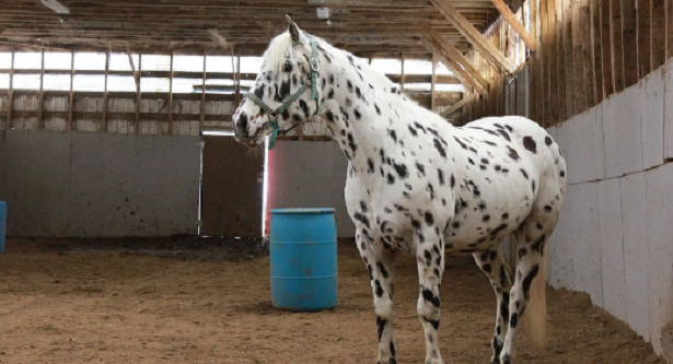 Cavallo Knabstrup