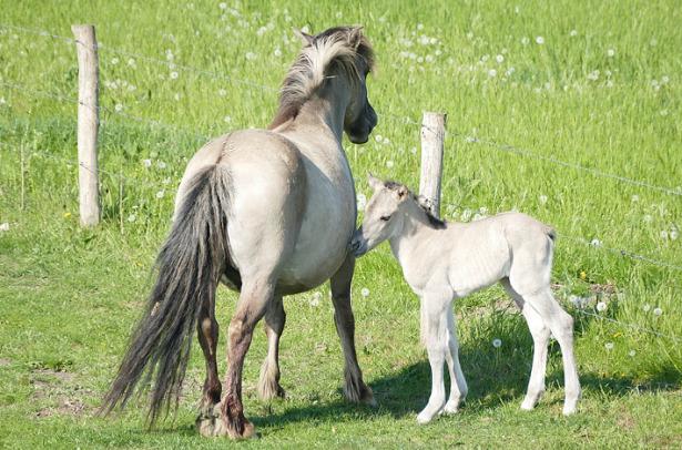 Cavallo Konik con puledro