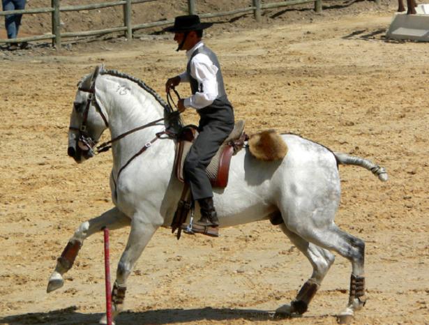 cavallo lusitano