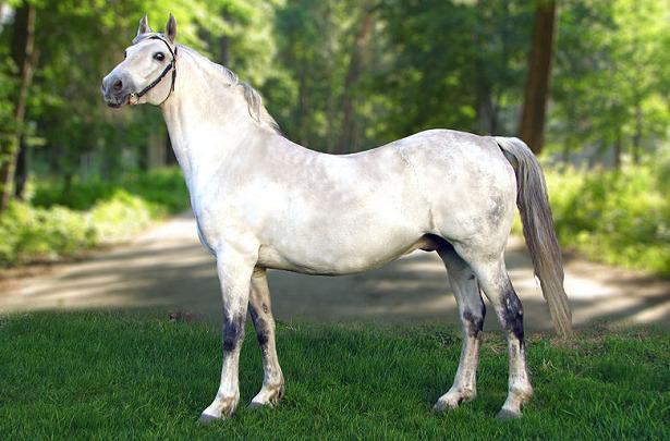 cavallo orlov