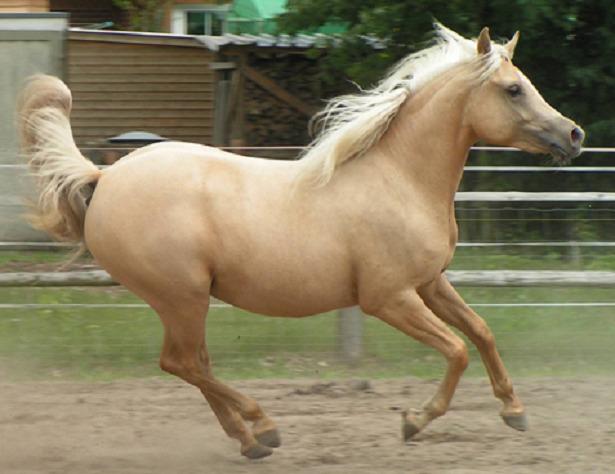 cavallo quarab