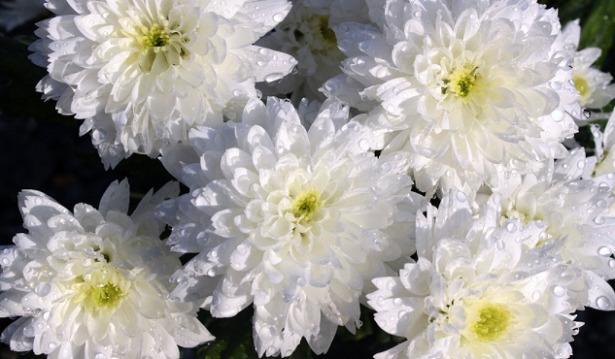 crisantemo-fiore