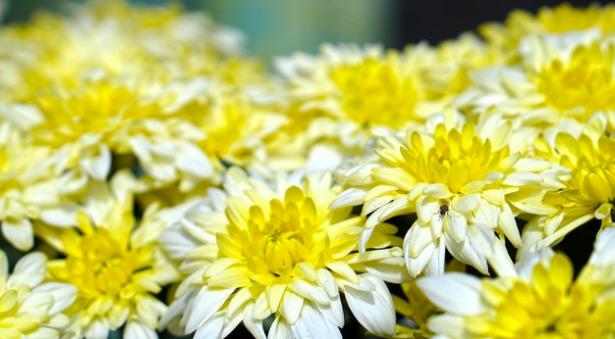 crisantemi-margherita