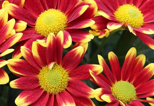 crisantemi-tricolor