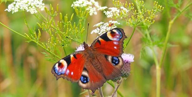 farfalla ciclo di vita