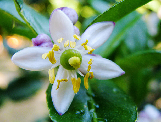fiore combava