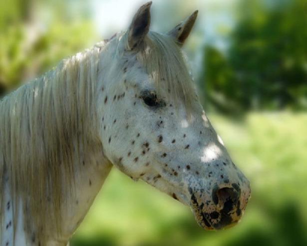 muso Cavallo Knabstrup