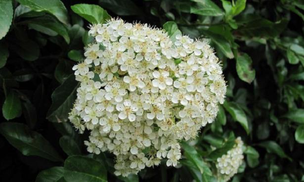 Pyracantha fiori