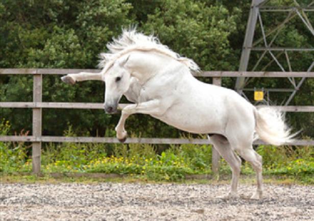 salto cavallo lusitano