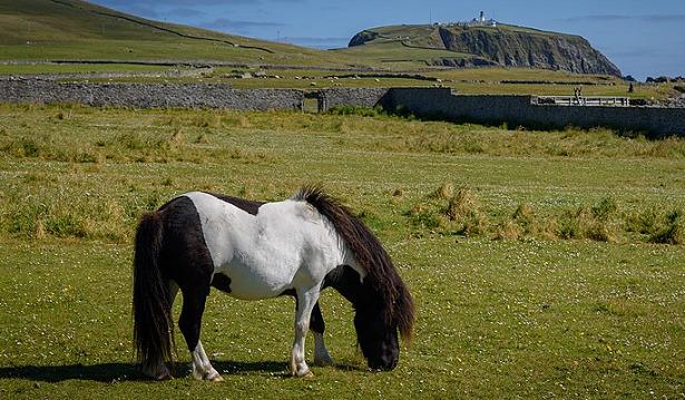shetland al pascolo