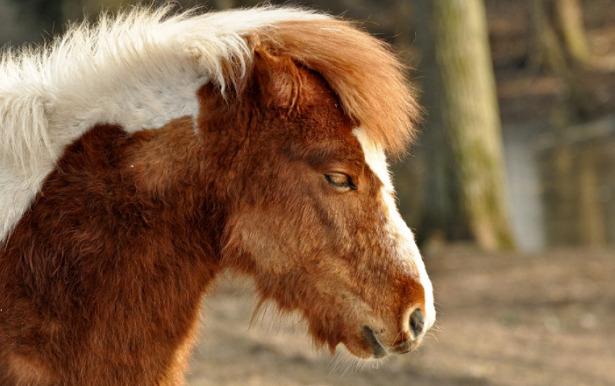 shetland cavallo