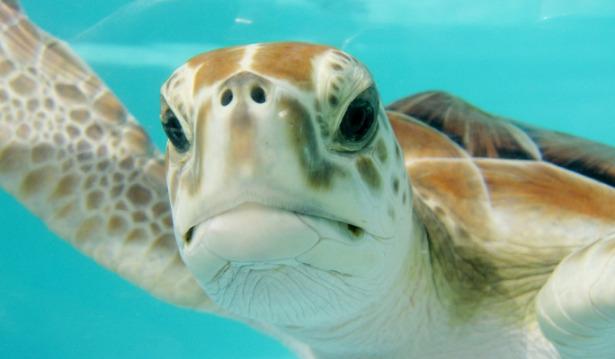animali che migrano tartarughe