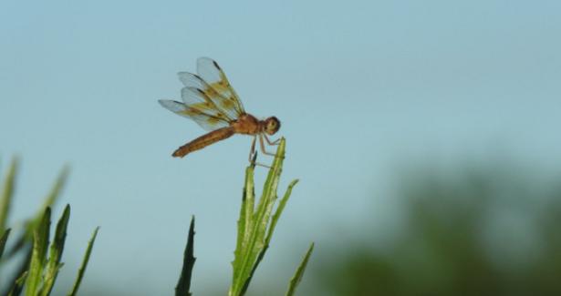animali da fiume libellula