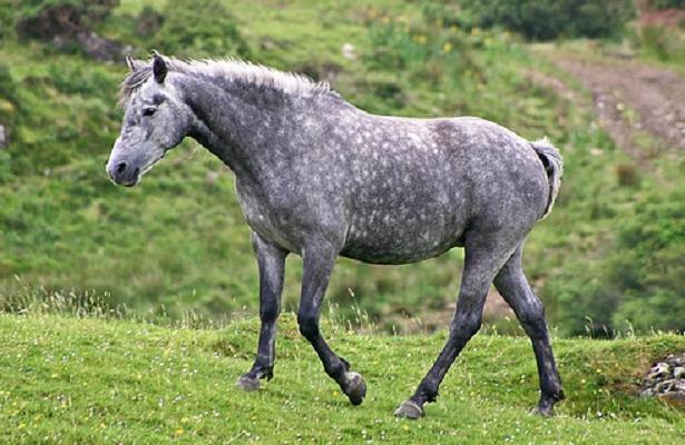 cavallo connemara
