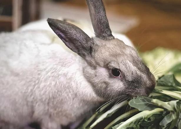 coniglio nano domestico