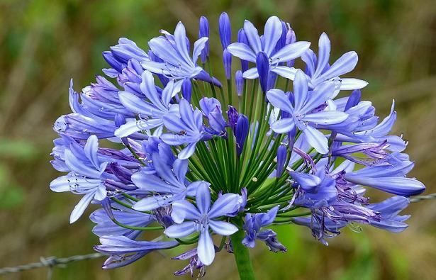 fiori blu agaphantus