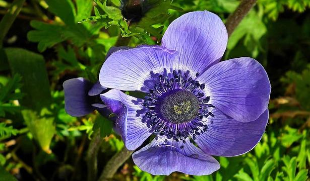fiori blu anemone