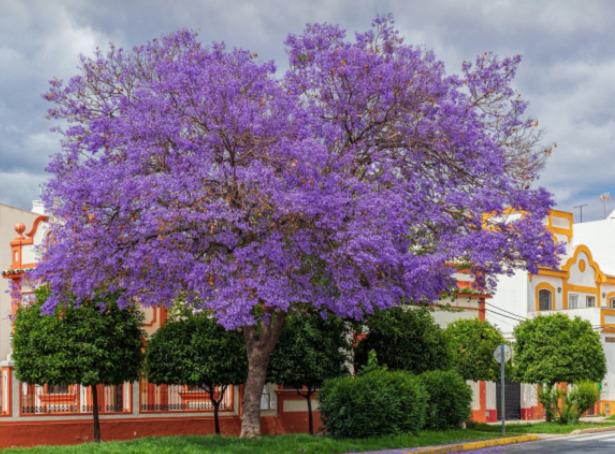 fiori blu jaracanda