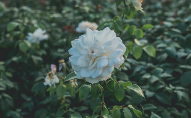 Camelia Bianca fiore
