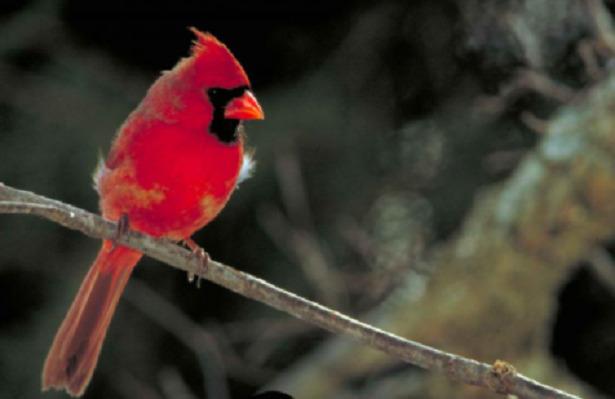 cardinale rosso con cresta