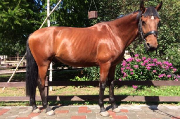 Cavallo Anglo-arabo spagnolo
