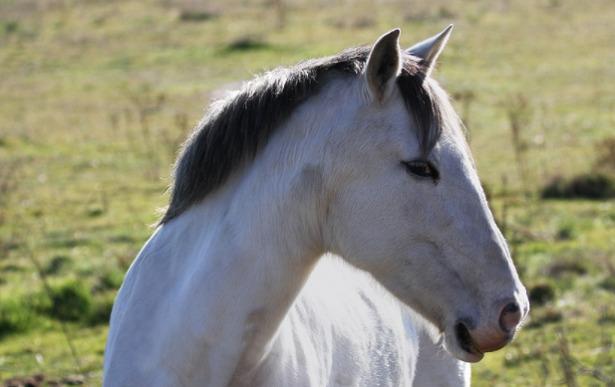 Cavallo iberico
