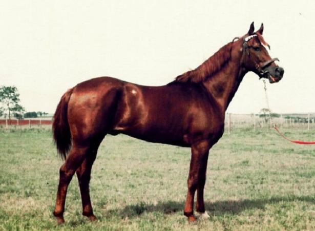 Cavallo Mangalarga paulista