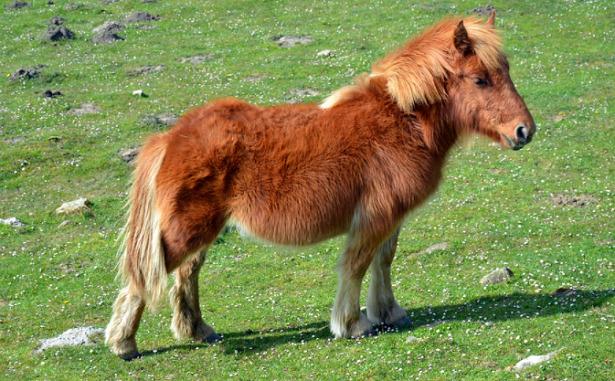 Cavallo Pottok
